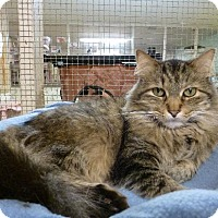 Domestic Longhair Cat for adoption in Westville, Indiana - Trapper