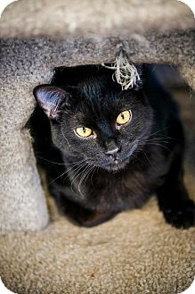 Domestic Shorthair Cat for adoption in Cody, Wyoming - Binx