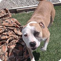 Adopt A Pet :: CODY - San Pablo, CA