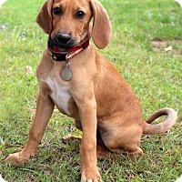 Adopt A Pet :: Biscuit - Bedford, VA