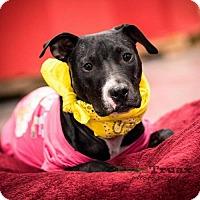 Adopt A Pet :: Macy - Frisco, TX