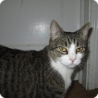 Adopt A Pet :: Baby Grey - Balto, MD