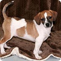 Adopt A Pet :: Pitter - New City, NY