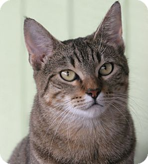 Domestic Shorthair Cat for adoption in North Fort Myers, Florida - Molly