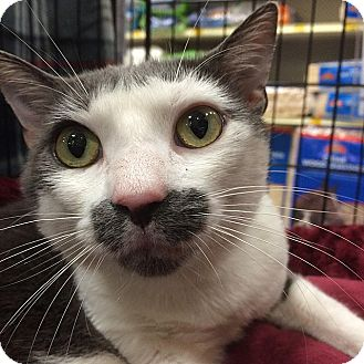 Domestic Shorthair Cat for adoption in Tampa, Florida - Kristopher