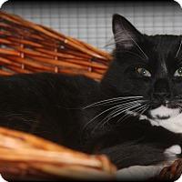 Domestic Mediumhair Cat for adoption in O Fallon, Illinois - Max