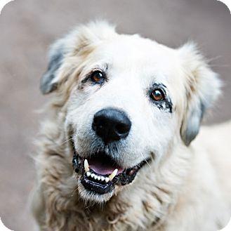 Great Pyrenees/Anatolian Shepherd Mix Dog for adoption in Houston, Texas - Bootsie