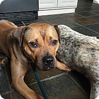 Adopt A Pet :: Ellie - Park Ridge, NJ