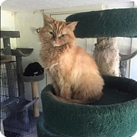 Persian Cat for adoption in Monroe, Connecticut - Pumpkin