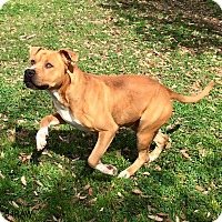 Boxer/Pit Bull Terrier Mix Dog for adoption in Vancouver, British Columbia - A - CAPTAIN