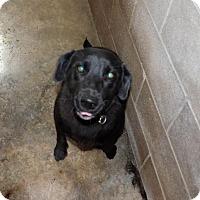 Adopt A Pet :: Sheba - Waldron, AR