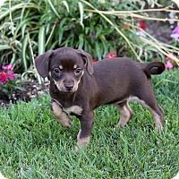 Adopt A Pet :: BABY DEE - Newport Beach, CA