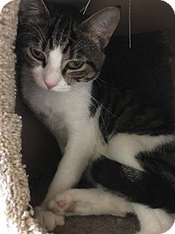 Domestic Shorthair Cat for adoption in Highland, Indiana - Hanover