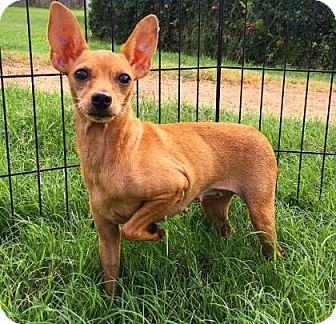Miniature Pinscher Mix Dog for adoption in Fredericksburg, Texas - Serenity