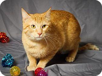 Domestic Shorthair Cat for adoption in Tulsa, Oklahoma - Zander