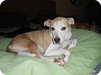 Labrador Retriever/Terrier (Unknown Type, Medium) Mix Dog for adoption in North Jackson, Ohio - Honey