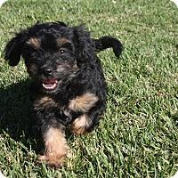 Adopt A Pet :: Harmony - Henderson, NV
