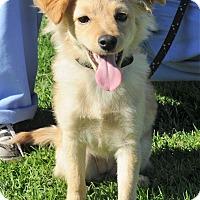 Adopt A Pet :: Butterscotch - Agoura Hills, CA