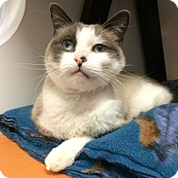 Siamese Cat for adoption in Colorado Springs, Colorado - Max