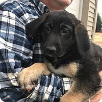 Adopt A Pet :: Rose - Glastonbury, CT