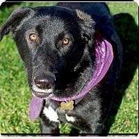 Adopt A Pet :: Star sweet gal, URGENT - Redding, CA