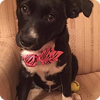 Terrier (Unknown Type, Small) Mix Puppy for adoption in Fort Atkinson, Wisconsin - Sugar