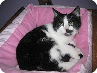 Domestic Shorthair Kitten for adoption in Edmond, Oklahoma - Chessa