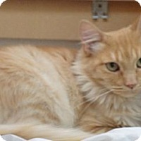 Adopt A Pet :: Marmalade - Escondido, CA