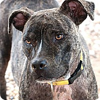American Staffordshire Terrier/Staffordshire Bull Terrier Mix Dog for adoption in Houston, Texas - Natalia
