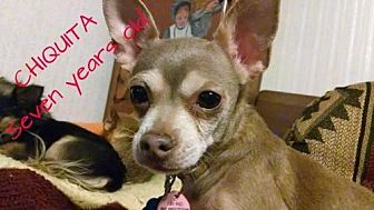 Chihuahua Dog for adoption in Fort Worth, Texas - Chiquita