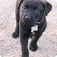 Adopt A Pet :: Caydance - Phoenix, AZ