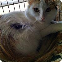 Adopt A Pet :: Cozetta - Glendale, AZ