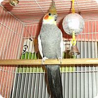 Adopt A Pet :: Cockatiel - El Cajon, CA