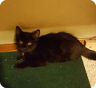 Domestic Shorthair Kitten for adoption in Irwin, Pennsylvania - Landon