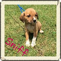 Adopt A Pet :: Clover (POM DC) - Harrisonburg, VA