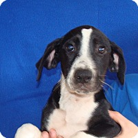 Adopt A Pet :: Marshmellow - Oviedo, FL