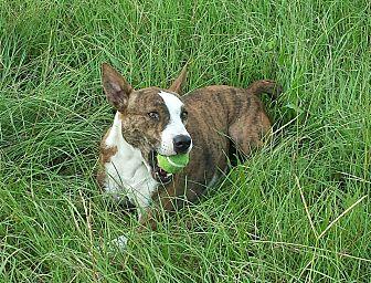Australian Kelpie/Bull Terrier Mix Dog for adoption in Orange Lake, Florida - Miss Tess