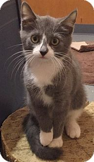 Domestic Shorthair Kitten for adoption in Somerset, Kentucky - Shelby-ADOPTED