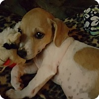 Chihuahua/Dachshund Mix Puppy for adoption in Burbank, California - Lola