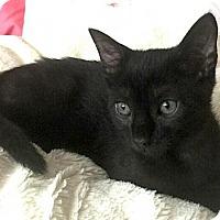 Adopt A Pet :: OLIVER  BOMBAY            TYPE  KITTEN - Philadelphia, PA