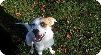 Hound (Unknown Type)/Labrador Retriever Mix Dog for adoption in Pataskala, Ohio - Jessa