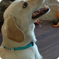 Golden Retriever Mix Dog for adoption in Von Ormy, Texas - Yeolie(CPR)