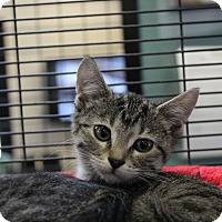 Adopt A Pet :: Tabbytha - Sarasota, FL