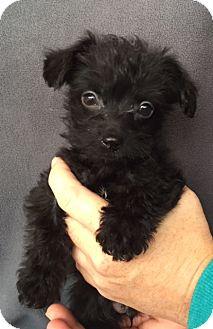 Poodle (Miniature)/Scottie, Scottish Terrier Mix Puppy for adoption in Hainesville, Illinois - Grover