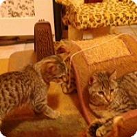 Adopt A Pet :: Ginger - Whitestone, NY
