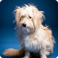 Terrier (Unknown Type, Small)/Maltese Mix Dog for adoption in Norwalk, Connecticut - Travis - MEET ME