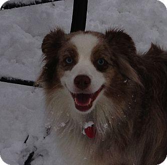 Australian Shepherd Dog for adoption in Elk River, Minnesota - Sienna