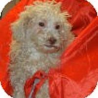 Adopt A Pet :: Puccini - Antioch, IL