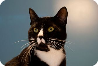 Domestic Shorthair Cat for adoption in Chattanooga, Tennessee - Noah