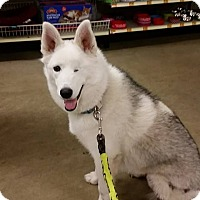 Husky/Keeshond Mix Dog for adoption in Rosamond, California - Luna